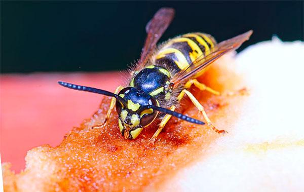 Какую пользу приносят осы