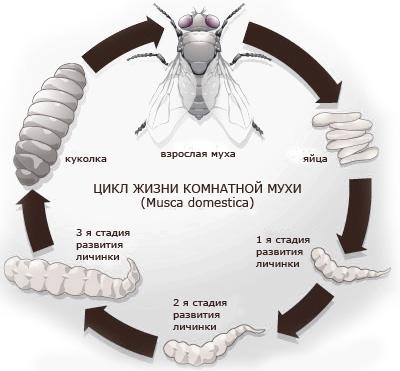 Где живут мухи