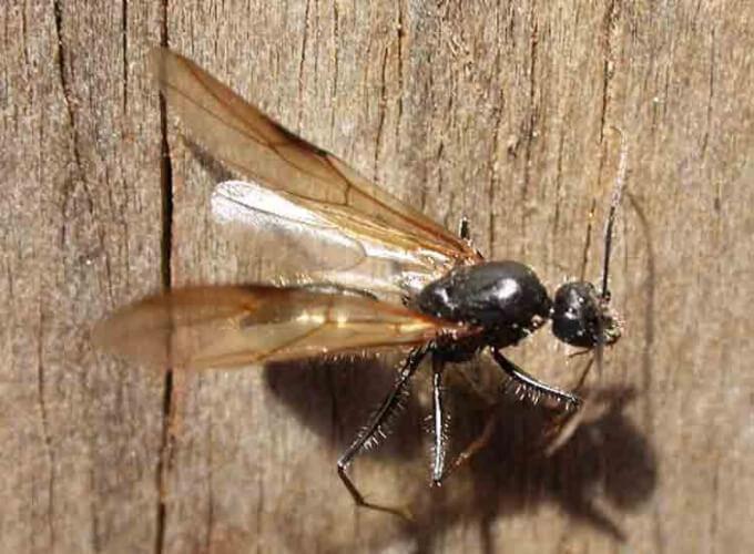 Летучие муравьи в доме