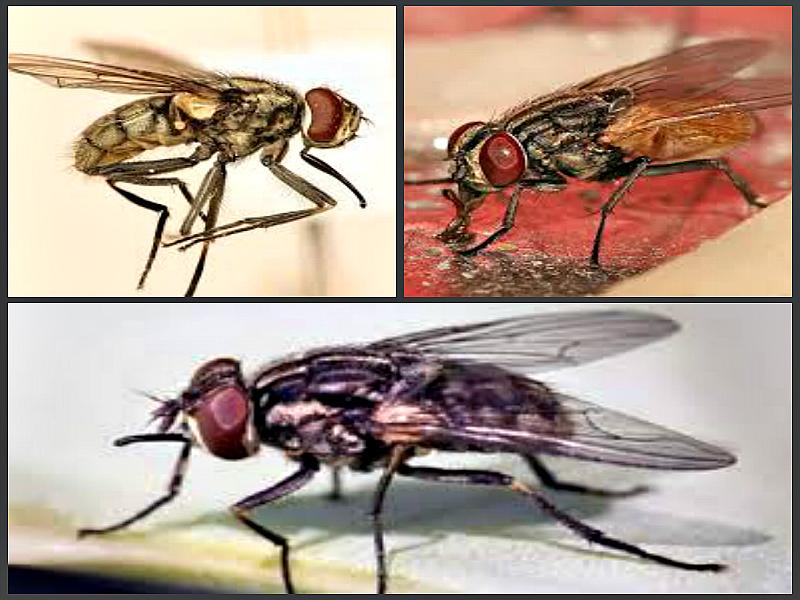 Сколько лет живут мухи